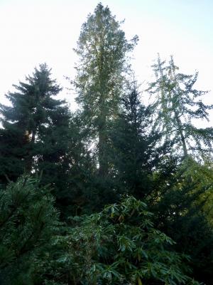 Hoogste boom van Hilversum